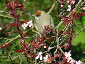 2016 5 May 2 Female Black Cap
