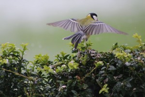 2016 5 May 3Great Tit On The Wing